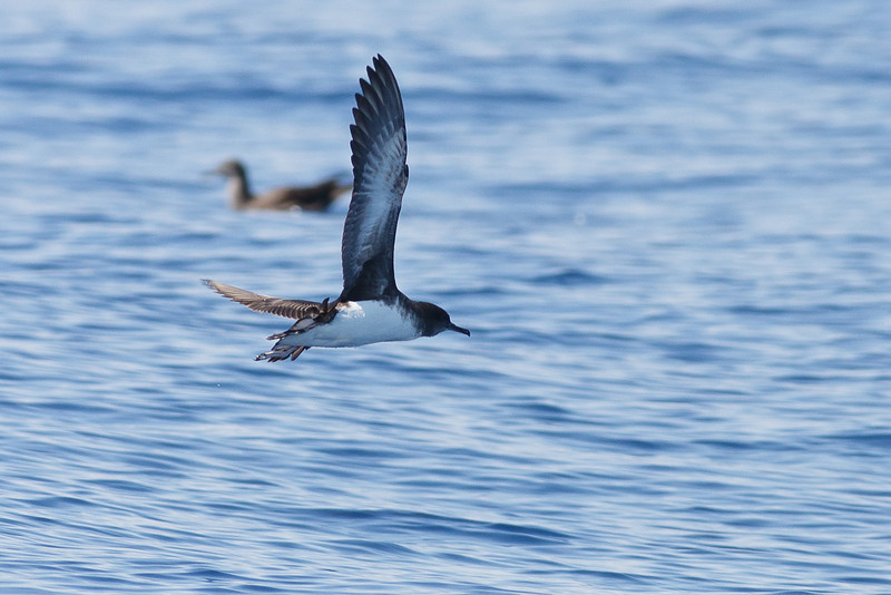 Hutton's Shearwater Sydney, NSW March 12, 2011 IMG_6438
