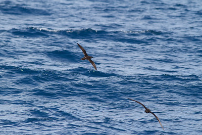 Hutton's Shearwater Wollongong, NSW January 28, 2012 IMG_5102
