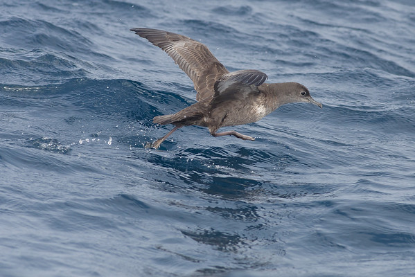 Short-tailed Shearwater Hauraki Gulf, NZ December 22, 2010 IMG_2691