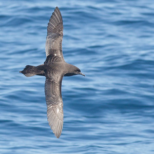 Short-tailed Shearwater Wollongong, NSW October 17, 2010 IMG_5173