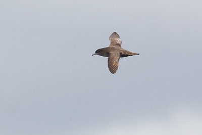 Short-tailed Shearwater Sydney, NSW March 10, 2012 _AW_8464
