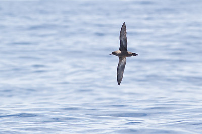 Short-tailed Shearwater December 10, 2011 Sydney, NSW IMG_8043