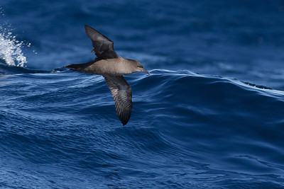 Sooty Shearwater Sydney, NSW July 09, 2011 IMG_3815
