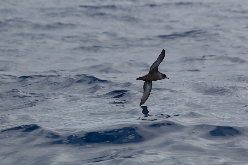 Sooty Shearwater Sydney, NSW March 10, 2012 _AW_8452