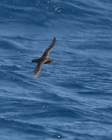 Sooty Shearwater Sydney, NSW November 13, 2010 IMG_9652