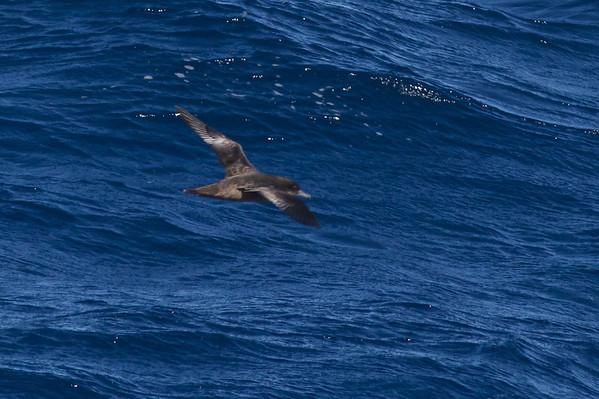 Sooty Shearwater Sydney, NSW July 09, 2011 IMG_3794