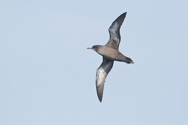 Sooty Shearwater Eaglehawk Neck, TAS September 03, 2011 IMG_0383