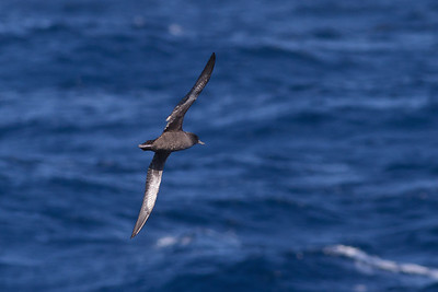 Sooty Shearwater Sydney, NSW July 09, 2011 IMG_3793
