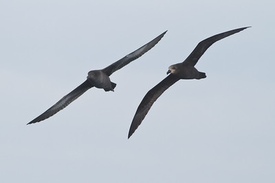 Sooty Shearwater; Great-winged Petrel Eaglehawk Neck, TAS September 04, 2011 IMG_7905
