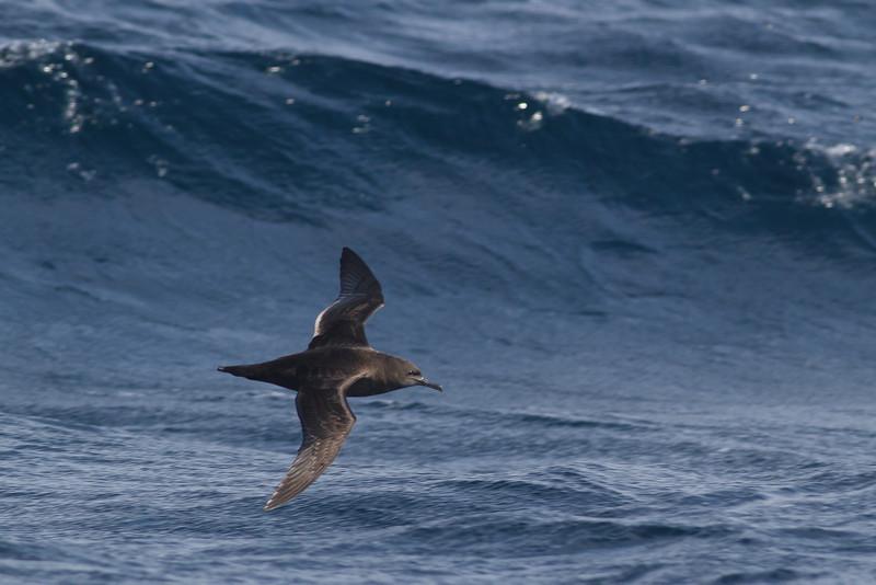 Sooty Shearwater Eaglehawk Neck, TAS September 03, 2011 IMG_0382