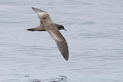 Wedge-tailed Shearwater Wollongong, NSW September, 2010 IMG_0338