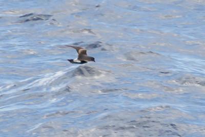 Leach's Storm-petrel (Oceanodroma leucorhoa)