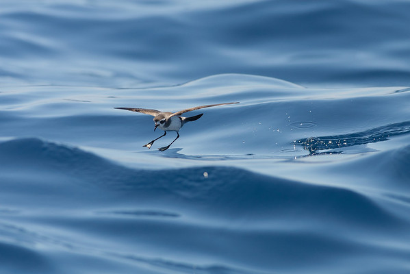 White-faced Storm-petrel (Pelagodroma marina)