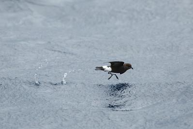 Wilson's Storm-Petrel (Oceanites oceanicus)