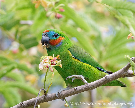 Double-eyed Fig-parrot Cairns, QLD December, 2009 IMG_3162