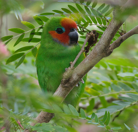 Marshall's Fig-parrot
