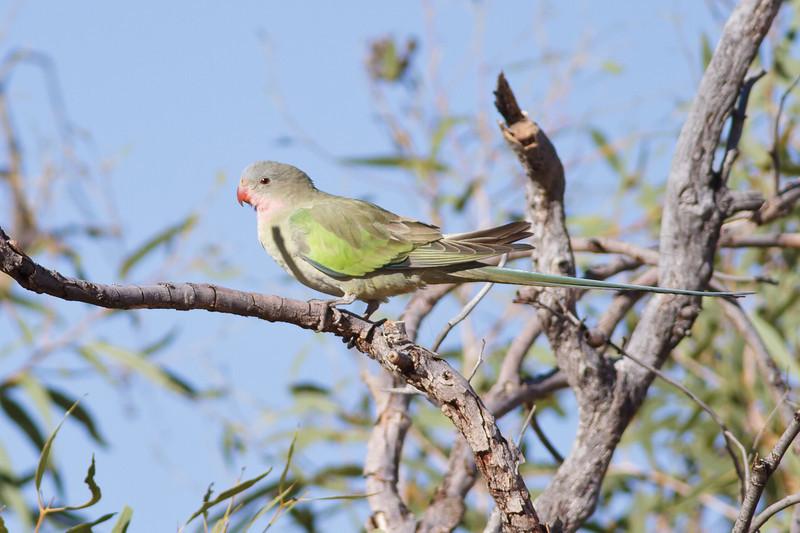 Princess Parrot June 17, 2012 Newhaven Sanctuary, NT IMG_0665