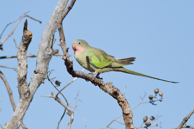 Princess Parrot June 17, 2012 Newhaven Sanctuary, NT IMG_0750
