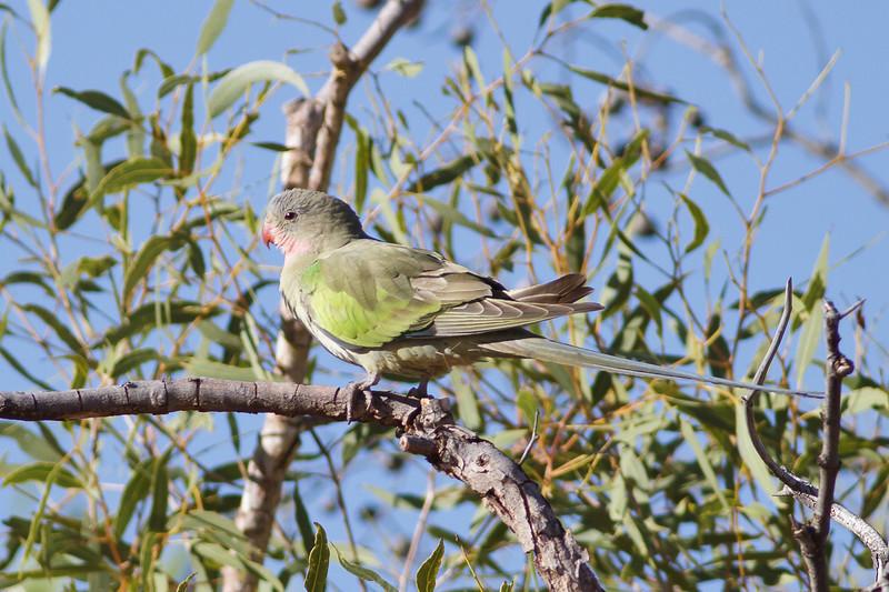 Princess Parrot June 17, 2012 Newhaven Sanctuary, NT IMG_0644