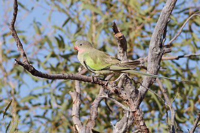 Princess Parrot June 17, 2012 Newhaven Sanctuary, NT IMG_0718
