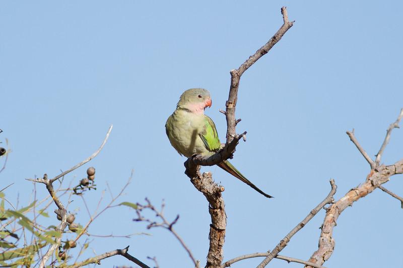 Princess Parrot June 17, 2012 Newhaven Sanctuary, NT IMG_0762