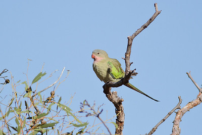Princess Parrot June 17, 2012 Newhaven Sanctuary, NT IMG_0772