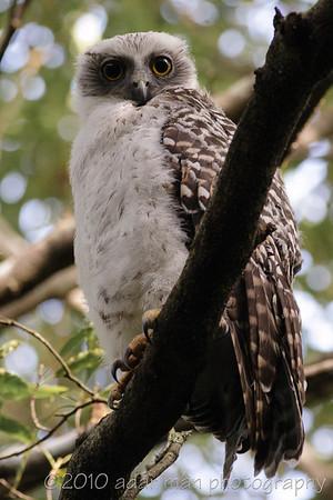 Powerful Owl Chatswood, NSW November, 2007 IMG_5947