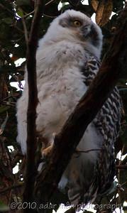 Powerful Owl Chatswood, NSW August, 2009 IMG_5024