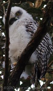 Powerful Owl Chatswood, NSW August, 2009 IMG_5014