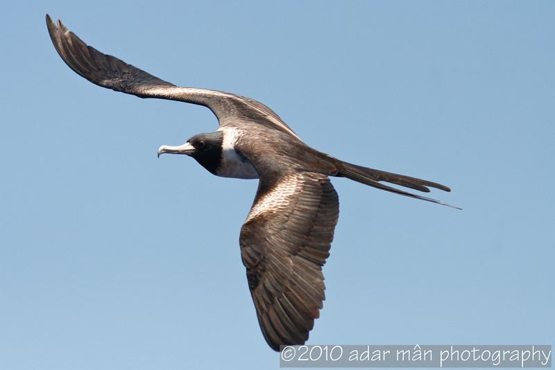 Lesser Frigatebird Southport, QLD January, 2010 IMG_0319