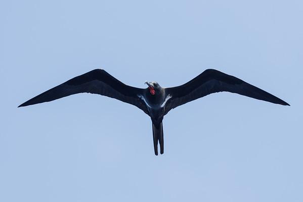 Lesser Frigatebird (Fregata ariel)