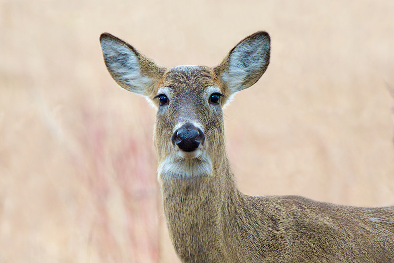 White Tailed Deer - Halls Road - Whitby, Ontario