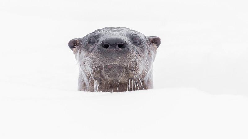 Algonquin River Otter