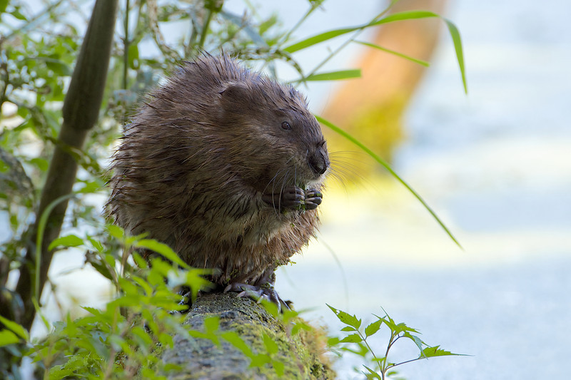 Muskrat - Lynde Shores Conservation Area - Whitby, Ontario