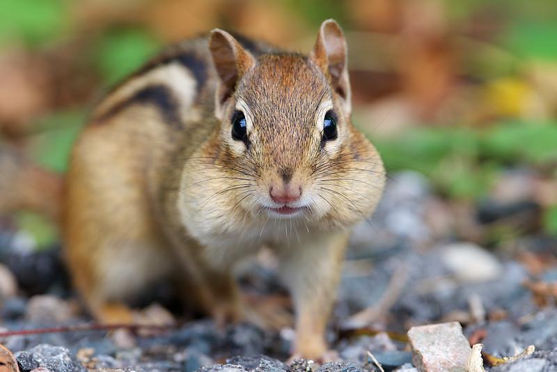 Chipmunk - Cranberry Marsh - Whitby, Ontario