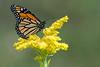 Monarch - Presqu'ile Provincial Park
