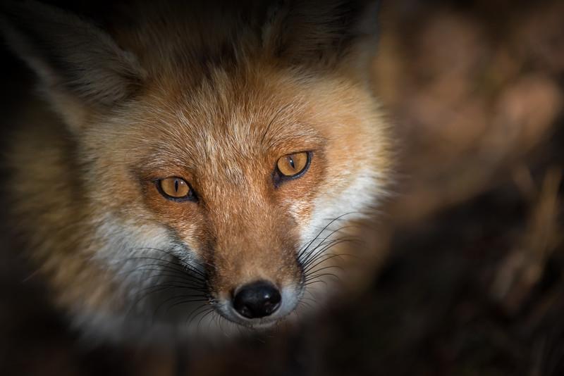Fox kit's mom