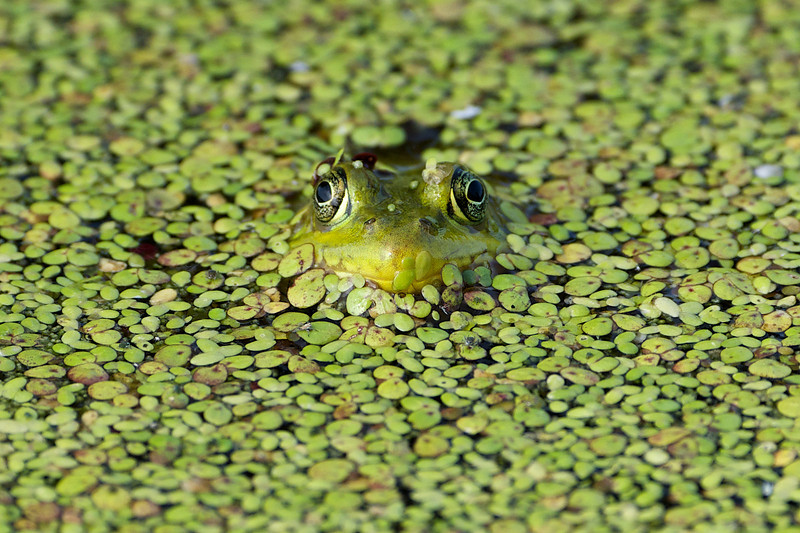 Frog - Lynde Shores Conservation Area - Whitby, Ontario