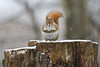 Red Squirrel - Lynde Shores Conservation Area - Whitby, Ontario