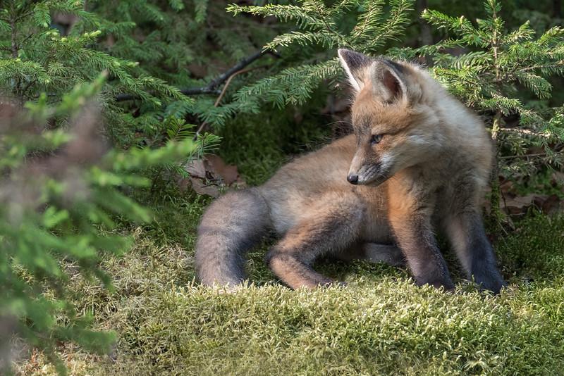 Red Fox kit - 8 weeks