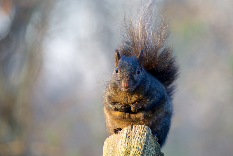 Squirrel - Lynde Shores Conservation Area - Whitby, Ontario