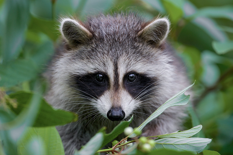 Raccoon - Cranberry Marsh - Whitby, Ontario