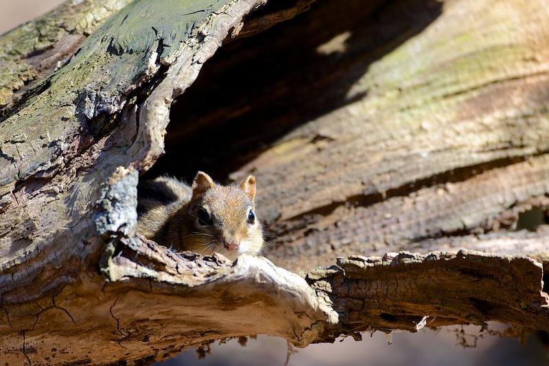 Chipmunk - Thickson's Woods - Whitby, Ontario