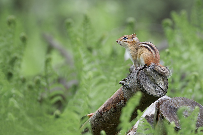 Chipmunk - Lynde Shores Conservation Area - Whitby Ontario