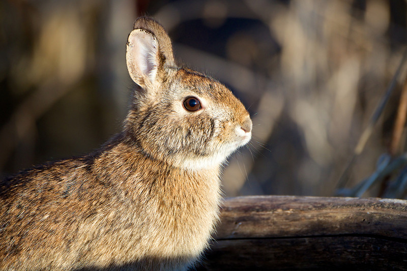 Rabbit - Lynde Shores Conservation Area - Whitby Ontario