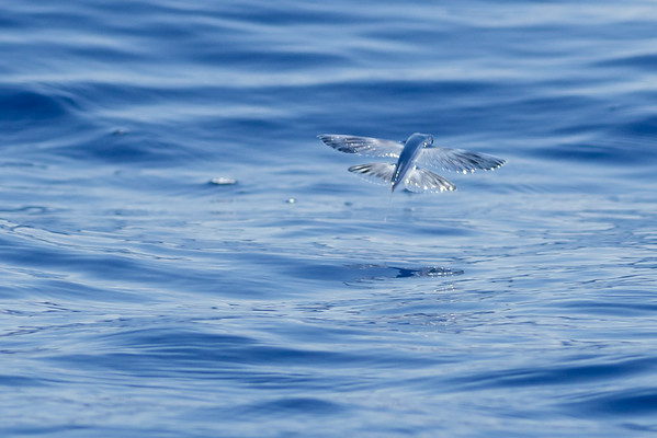 Flying fish sp.