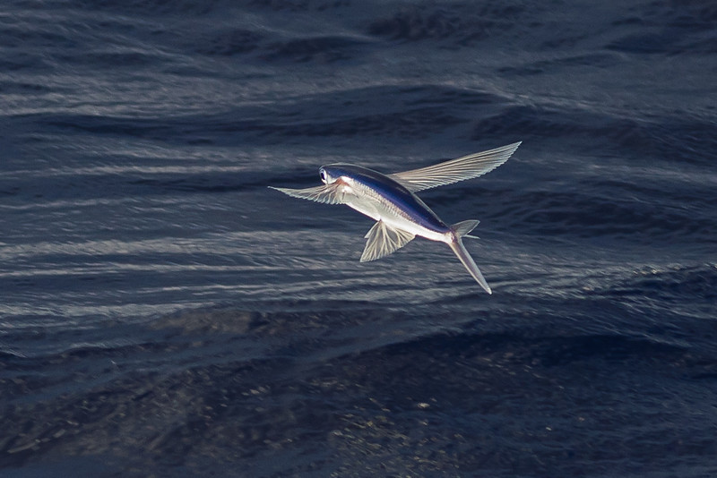 Flying Fish sp.