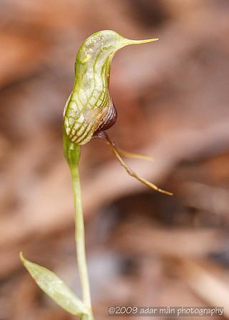 Bird Orchid Pterostylis barbata Stirling Range, WA September, 2009 IMG_5425