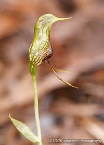 Bird Orchid Pterostylis barbata Stirling Range, WA September, 2009 IMG_5425
