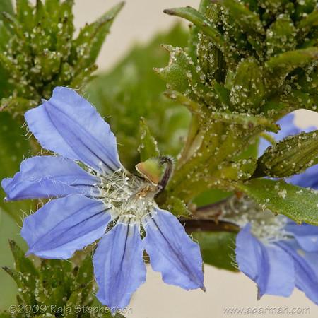 Fanflower sp. Scaevola sp. Cheynes Beach, WA September, 2009 IMG_4984